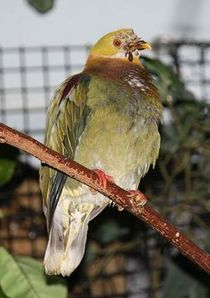 Ornate-Fruit-Dove.jpg