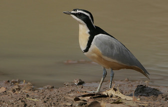 what is the relationship between crocodiles and plover birds