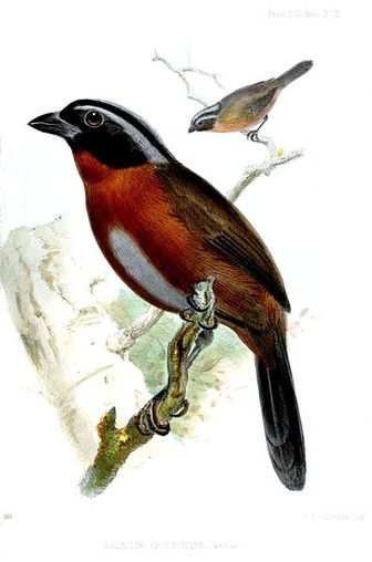 Xenarthra Phylogeny Tanager Finch - Pictur...