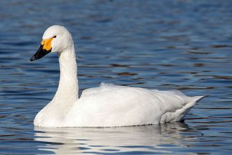 Whistling Swan - Pictures and facts - Birds ...