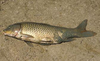 Amur carp cyprinus carpio haematopterus pictures and for White amur fish