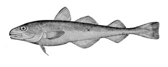Arctic cod facts