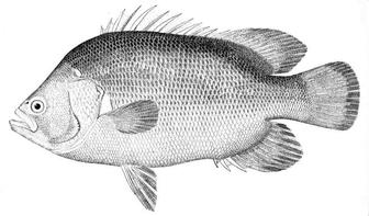 Atlantic tripletail lobotes surinamensis pictures and for Triple tail fish recipes