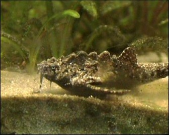 Banjo catfish (Bunocephalus knerii) - Pictures and facts - Fish ...