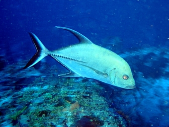 Black jack fish caranx lugubris pictures and facts for What is a jack fish