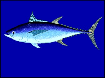 Blue fin tuna thunnus tonggol pictures and facts for Blue fin fish