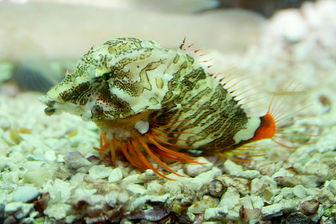 Fish  Richardson on Grunt Fish  Rhamphocottus Richardsonii    Pictures And Facts   Fish