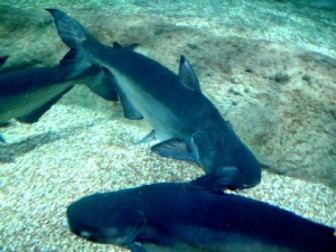 Mekong giant catfish pangasianodon gigas pictures and for Swai fish wiki