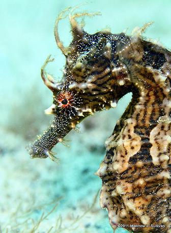 Northern seahorse (Hip... Hoplias Curupira