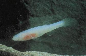 Ozark Cavefish Amblyopsis Rosae Pictures And Facts