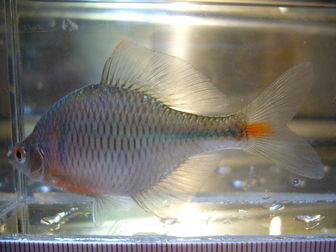 Rosy bitterling rhodeus ocellatus ocellatus pictures for Bitterlinge fische