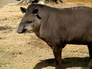Mountain Tapir Behavior | RM.