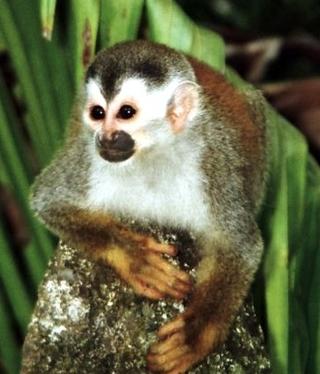 cute central american squirrel habitat