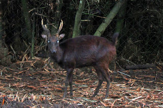 different types of animal philippine brown deer wiki
