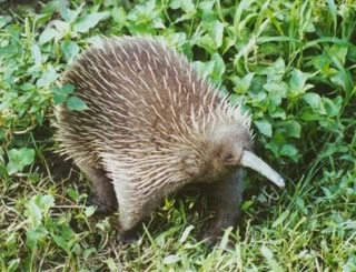 http://thewebsiteofeverything.com/img/long-beaked_echidna_or_New_Guinean_echidna.jpg