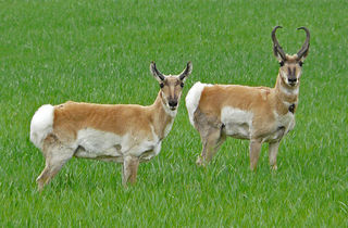 Pronghorn Antelopes Fastest Land Animal Of North America Pictures And Facts