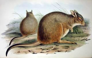 rufous_hare-wallaby.jpg