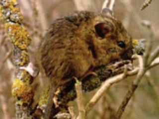 Salt marsh harvest mouse   Reithrodontomys raviventris facts