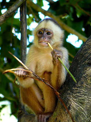 free downloading pics of capuchin monkeys