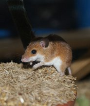 African pygmy mouse