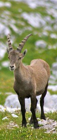 alpine-ibex.
