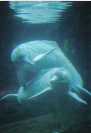 Amazon river dolphin