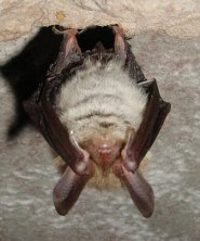 Bechsteins bat