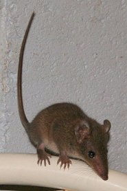 Brown Antechinus The Pouchless Marsupial Pictures And