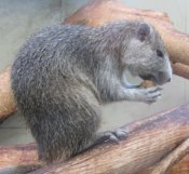 Desmarests Hutia