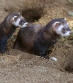 European polecat - pictures and facts