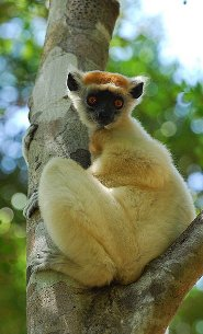 Golden-crowned lemur