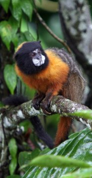 Golden mantled tamarin