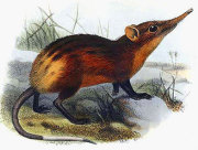 Golden rumped elephant shrew