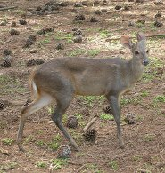 Gray brocket