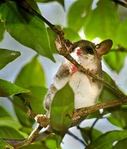 Gray slender mouse opossum
