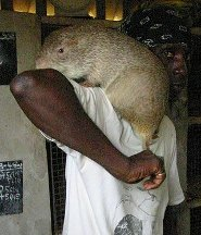 Greater Cane Rat Well Trained Swimmers Pictures And Facts