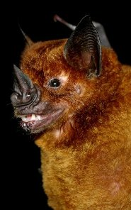 Greater spear-nosed bat