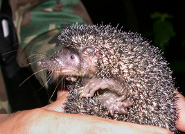 Greater hedgehog tenrec