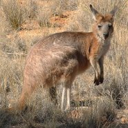 Hill wallaroo