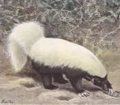 Eastern hog nosed skunk