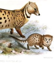 Large spotted civet