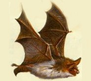 Lesser Mouse-Eared Bat