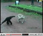 Monkey pulls dog tail