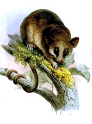 Murine mouse possum