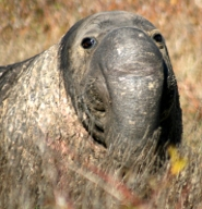 Male northern elephant seal