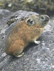 northern pika the whistle blowers of the wild pictures and facts