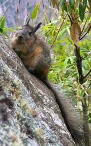 Northern viscacha