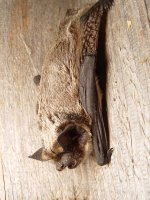 parti couloured bat