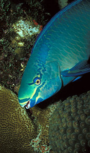 Queen parrotfish scarus vetula pictures and facts for Parrot fish facts