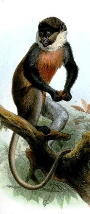 Red-bellied monkey